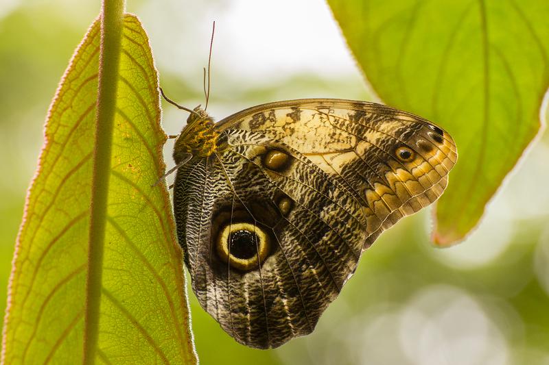 Eryphanis polyxena